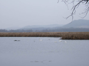 Tundra Swans at Rieck's Lake Park in Alma