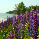 Lupines on Madeline Island - Gary Knowles