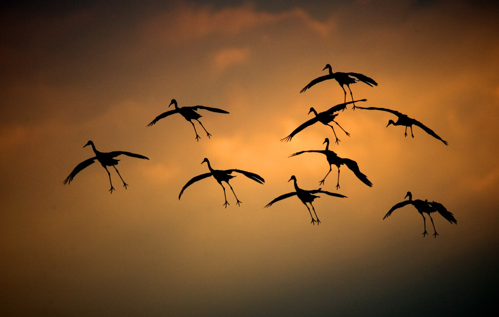 Cranes in Wisconsin, photo by Tom Lynn